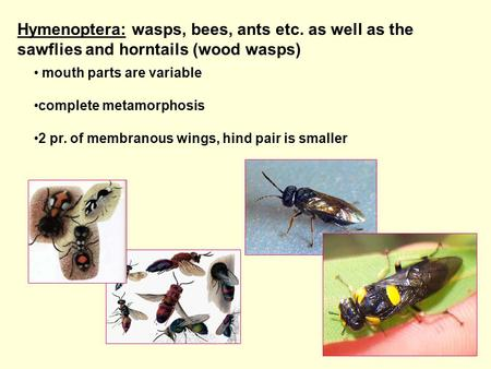 Hymenoptera: wasps, bees, ants etc. as well as the sawflies and horntails (wood wasps) mouth parts are variable complete metamorphosis 2 pr. of membranous.