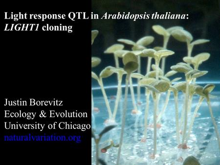 Light response QTL in Arabidopsis thaliana: LIGHT1 cloning Justin Borevitz Ecology & Evolution University of Chicago naturalvariation.org.