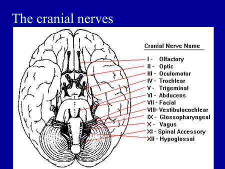The cranial nerves. Central Nervous System - Brain Identify the anatomical location of each major brain area. Describe the functions of the major brain.