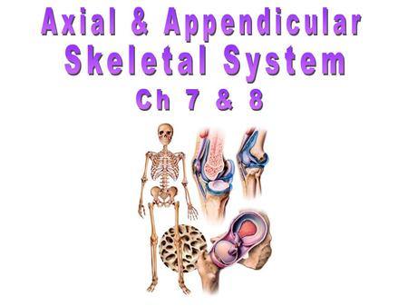Axial & Appendicular Skeletal System Ch 7 & 8.