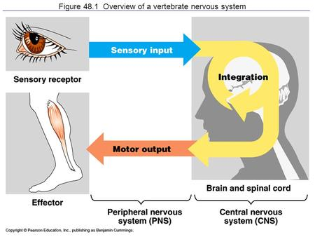 Figure 48.1 Overview of a vertebrate nervous system.