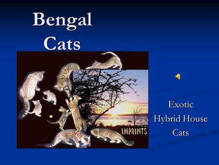 Bengal Cats Exotic Hybrid House Cats How Bengals Are Created Bengals are the product of a domestic housecat bred with an Asian Leopard Cat +