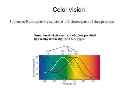 Color vision 3 forms of Rhodopsin are sensitive to different parts of the spectrum: Sensation of whole spectrum of colors provided by exciting differently.