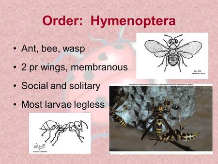 Order: Hymenoptera Ant, bee, wasp 2 pr wings, membranous