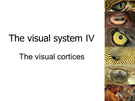 The visual system IV The visual cortices. The primary visual pathway From perret-optic.ch.