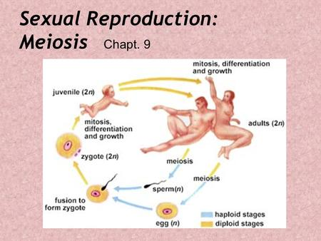 Sexual Reproduction: Meiosis Chapt. 9. Plants too…Reproduce Sexually.