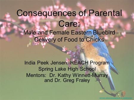 Consequences of Parental Care: Male and Female Eastern Bluebird Delivery of Food to Chicks India Peek Jensen: REACH Program Spring Lake High School Mentors: