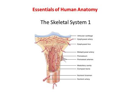 Essentials of Human Anatomy The Skeletal System 1