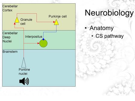 Neurobiology Anatomy CS pathway Cerebellar Cortex Cerebellar Deep Nuclei Brainstem Pontine nuclei Interpositus Granule cell Purkinje cell.