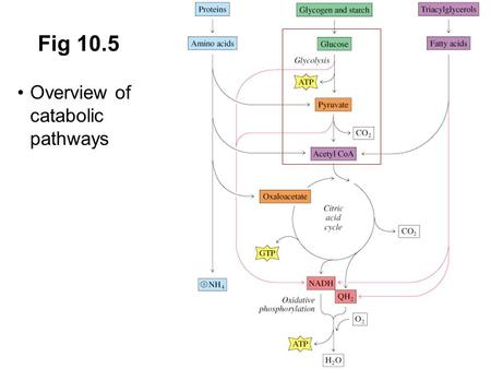 Fig 10.5 Overview of catabolic pathways Prentice Hall c2002 Chapter 11.