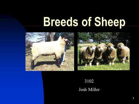 1 Breeds of Sheep 3102 Josh Miller. 2 Main breeds The main sheep breeds are:  Border Leicester  Cheviot  Corriedale  Dorset  Merino  Suffolk.