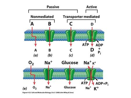 The Na + -K + ATPase Pump Cardiac glycosides: plant and animal steroids Ouabain! Digitalis!: increased Na+ conc inside heart leads to stimulation of.