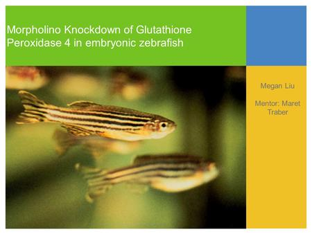 Morpholino Knockdown of Glutathione Peroxidase 4 in embryonic zebrafish Megan Liu Mentor: Maret Traber Text.