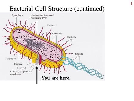 1 Bacterial Cell Structure (continued) You are here.