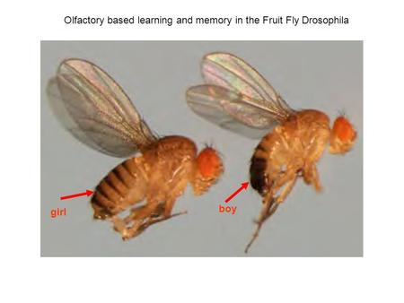 Olfactory based learning and memory in the Fruit Fly Drosophila girl boy.