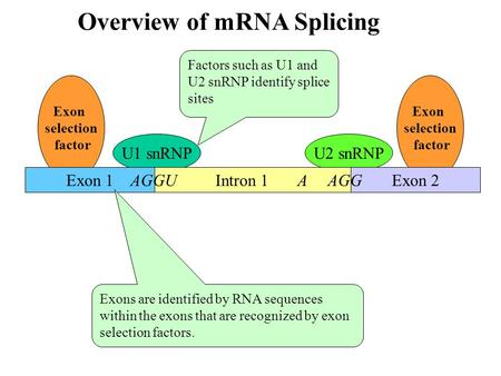 Exon selection factor Exon selection factor U2 snRNPU1 snRNP Intron 1 Overview of mRNA Splicing Exon 1 AGGU Exon 2 A AGG Factors such as U1 and U2 snRNP.