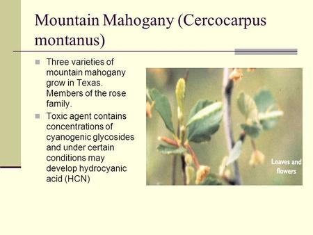 Mountain Mahogany (Cercocarpus montanus) Three varieties of mountain mahogany grow in Texas. Members of the rose family. Toxic agent contains concentrations.