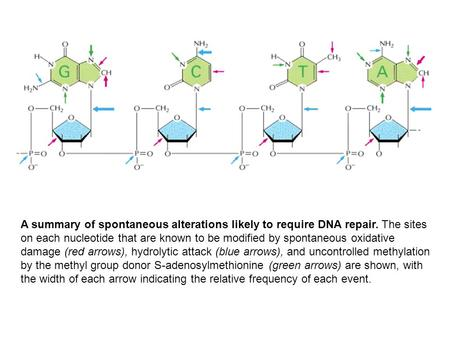 A summary of spontaneous alterations likely to require DNA repair. The sites on each nucleotide that are known to be modified by spontaneous oxidative.