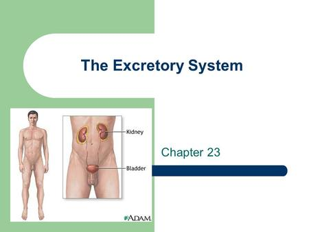 The Excretory System Chapter 23. What is the Urinary System? The purifying system for blood. Blood passes through the urinary system in order to be cleaned.