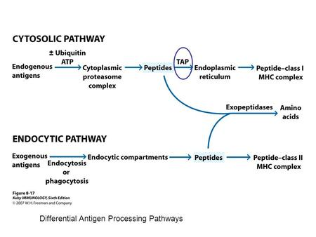Differential Antigen Processing Pathways. TAP: Transporter associated with Antigen Processing heterodimer.