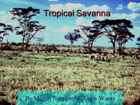 Tropical Savanna By Megan Burcham &Angie Warns What is a biome? Region of plants and animals divisions that organize the natural world Examples: Tundra,