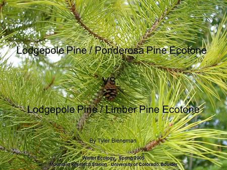 Lodgepole Pine / Ponderosa Pine Ecotone By Tyler Bieneman Lodgepole Pine / Limber Pine Ecotone VS. Winter Ecology – Spring 2005 Mountain Research Station.