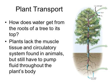 Plant Transport How does water get from the roots of a tree to its top? Plants lack the muscle tissue and circulatory system found in animals, but still.