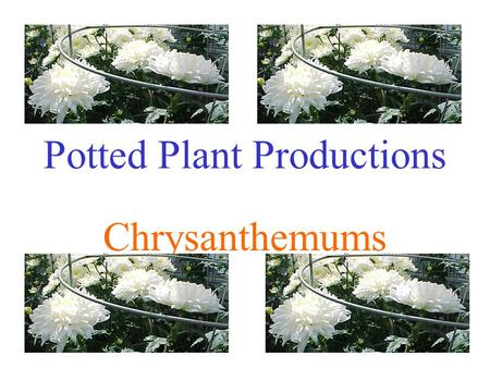 Potted Plant Productions Chrysanthemums. Introduction Dendranthema grandiflora or Chrysanthemum morifolium Native to China and Japan #2 potted flowering.