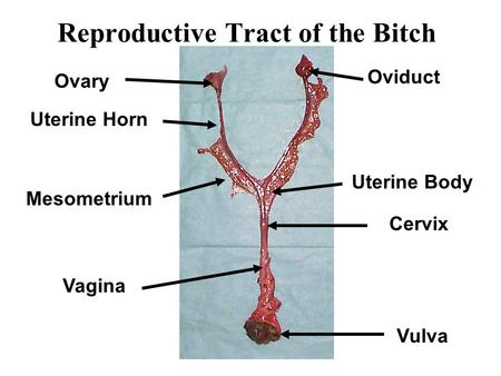 Reproductive Tract of the Bitch Ovary Oviduct Uterine Horn Uterine Body Mesometrium Cervix Vagina Vulva.