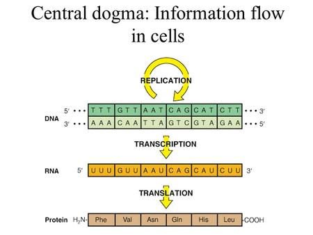 Central dogma: Information flow in cells. Nucleotides Pyrimidine bases: Cytosine (C), Thymine (T), Uracil (U, in RNA) Purine bases: Adenine (A), Guanine.