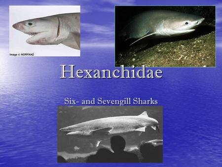 Six- and Sevengill Sharks Hexanchidae. Diagnostic Features Body cylindrical and moderately slender to snout with no abdominal keels Body cylindrical and.