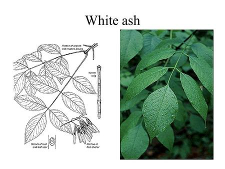 White ash. Big-tooth aspen Quaking aspen Aster.