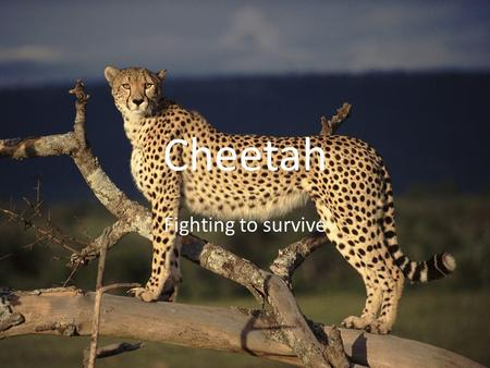 Cheetah Fighting to survive. Acinonyx jubatus Habitat The cheetahs are found in south Africa to India They live on long- grass plains. They need an environment.
