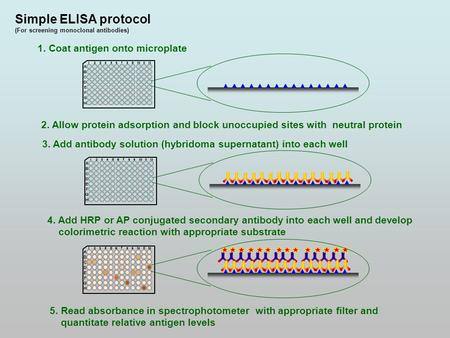 Simple ELISA protocol (For screening monoclonal antibodies) 1. Coat antigen onto microplate 2. Allow protein adsorption and block unoccupied sites with.