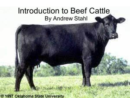 Introduction to Beef Cattle By Andrew Stahl. Beef Cattle Information Latin name: Bos taurus Domesticated in Europe and Asia by 6,500B.C. Did not arrive.