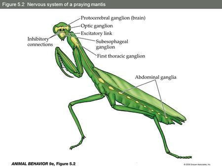 Figure 5.2 Nervous system of a praying mantis