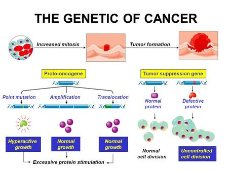 THE GENETIC OF CANCER Increased mitosisTumor formation Tumor suppression gene Hyperactive growth TranslocationPoint mutationAmplification Normal growth.