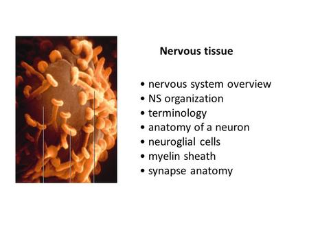 Nervous tissue nervous system overview NS organization terminology anatomy of a neuron neuroglial cells myelin sheath synapse anatomy.