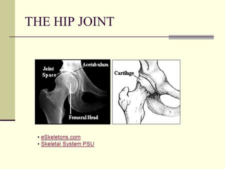 THE HIP JOINT eSkeletons.com Skeletal System PSU.