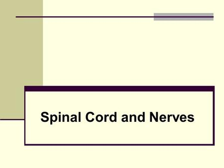 Spinal Cord and Nerves. The Nervous System Coordinates the activity of muscles, organs, senses, and actions Made up of nervous tissue Has 3 main functions: