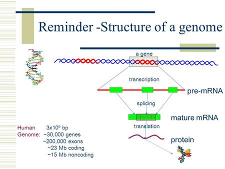Reminder -Structure of a genome Human 3x10 9 bp Genome: ~30,000 genes ~200,000 exons ~23 Mb coding ~15 Mb noncoding pre-mRNA transcription splicing translation.