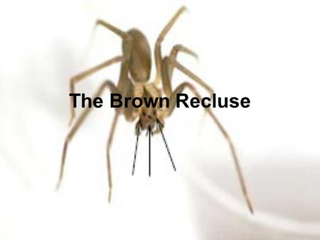 The Brown Recluse. Where are they found? Brown Recluses are found from East Texas to Western Georgia and North to Southern Illinois. They are sometimes.