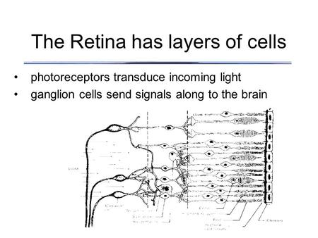 The Retina has layers of cells