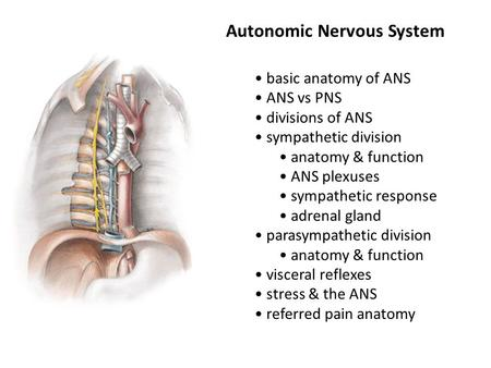 Autonomic Nervous System basic anatomy of ANS ANS vs PNS divisions of ANS sympathetic division anatomy & function ANS plexuses sympathetic response adrenal.