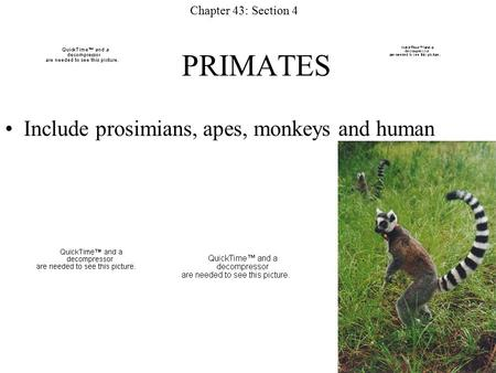 PRIMATES Include prosimians, apes, monkeys and human Chapter 43: Section 4.