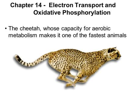 Prentice Hall c2002Chapter 141 Chapter 14 - Electron Transport and Oxidative Phosphorylation The cheetah, whose capacity for aerobic metabolism makes it.