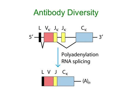 Antibody Diversity. Problem…the immune system makes over one billion different antibody proteins In 1950's: central dogma stated DNA—to RNA—to protein.