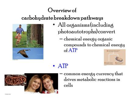 Overview of carbohydrate breakdown pathways All organisms (including photoautotrophs) convert – chemical energy organic compounds to chemical energy of.