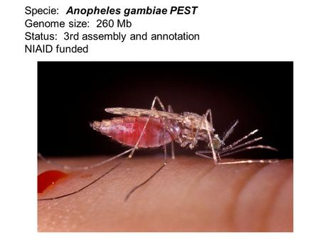 Specie: Anopheles gambiae PEST Genome size: 260 Mb Status: 3rd assembly and annotation NIAID funded.