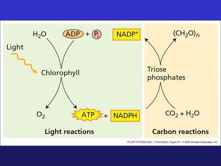 Rubisco (Triose-phosphate) CALVIN CYCLE: NET REACTION 6CO 2 + 11H 2 0 + 12 NADPH + 18ATP  Fructose-6-phosphate + 12 NADP + + 6H + + 18ADP 17 P.